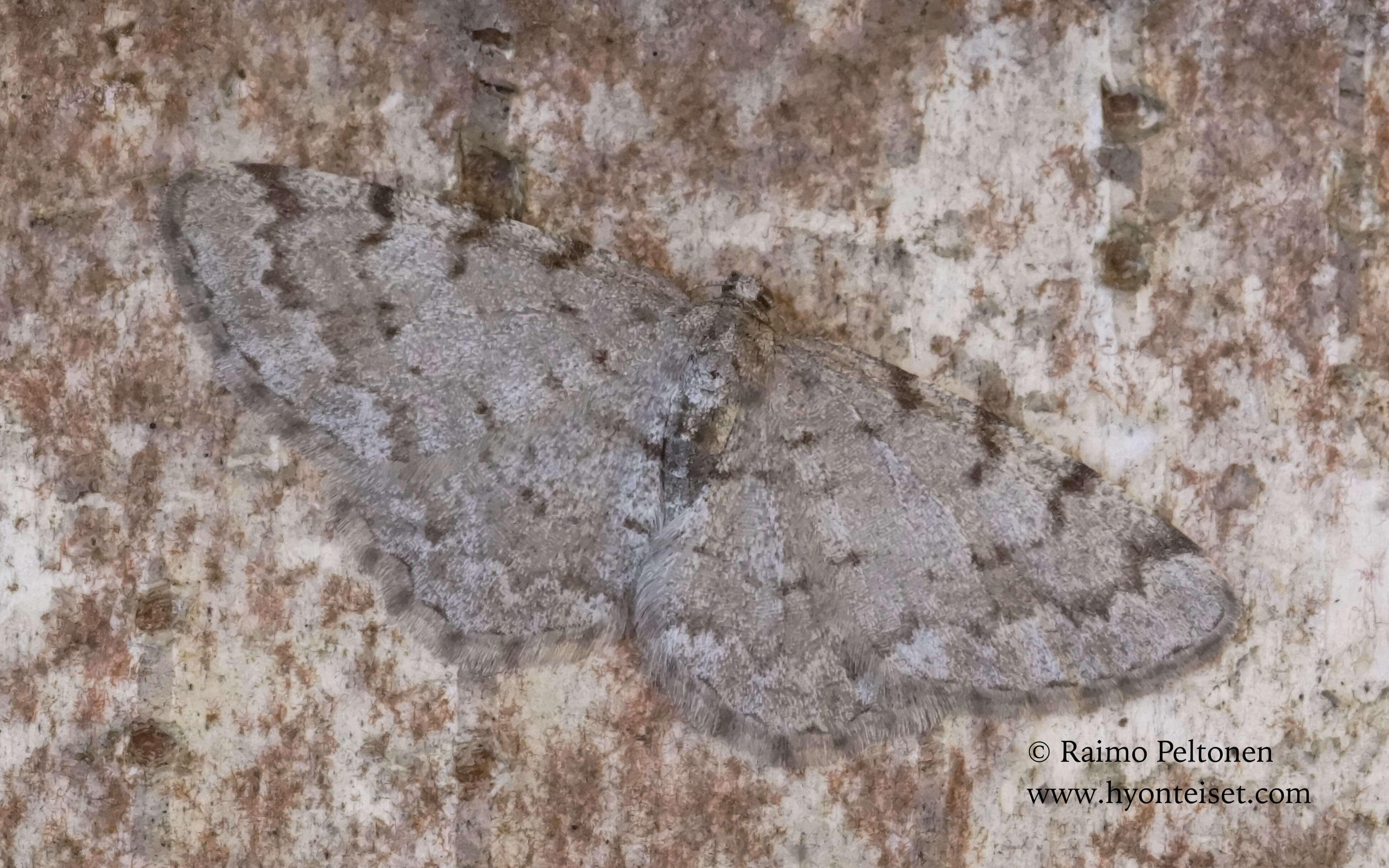 Aethalura punctulata-pikkuharmomittari (conf. Pekka Malinen), 7.5.2017 Jyväskylä