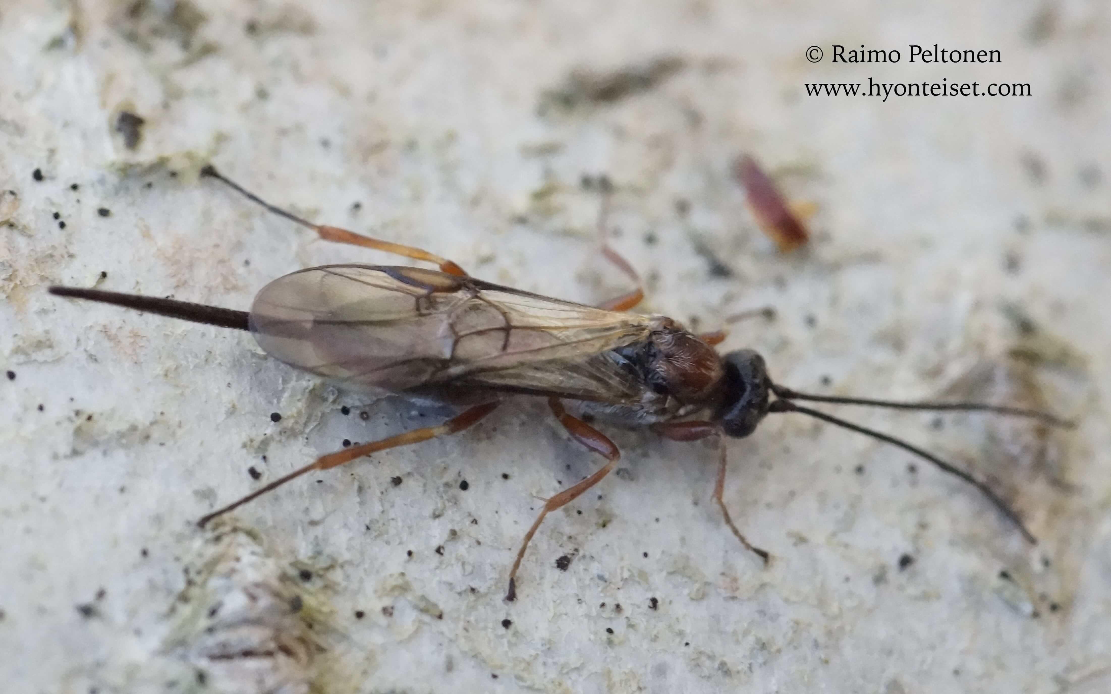 Agathinae sp. (det. Gergely Varkonyi), 7.5.2017 Jyväskylä