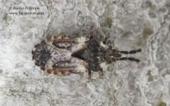 Aradus depressus