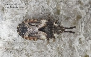 Aradus depressus 1