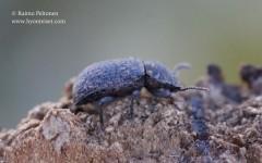 Bolitophagus reticulatus 3