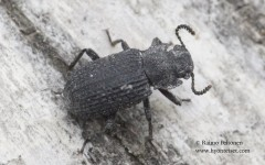 Bolitophagus reticulatus 1