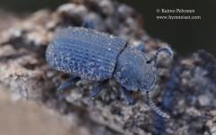 Bolitophagus reticulatus 2