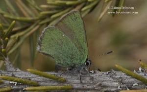 Callophrys rubi 2