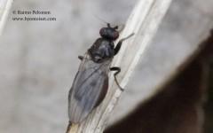 Crumomyia cf. fimetaria 1