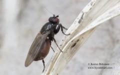 Crumomyia cf. fimetaria 2