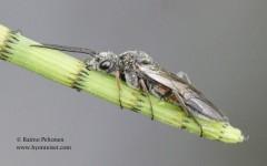 Dolerus cf. bimaculatus