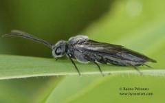 Dolerus cf. nigratus