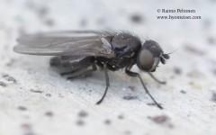 Earomyia lonchaeoides