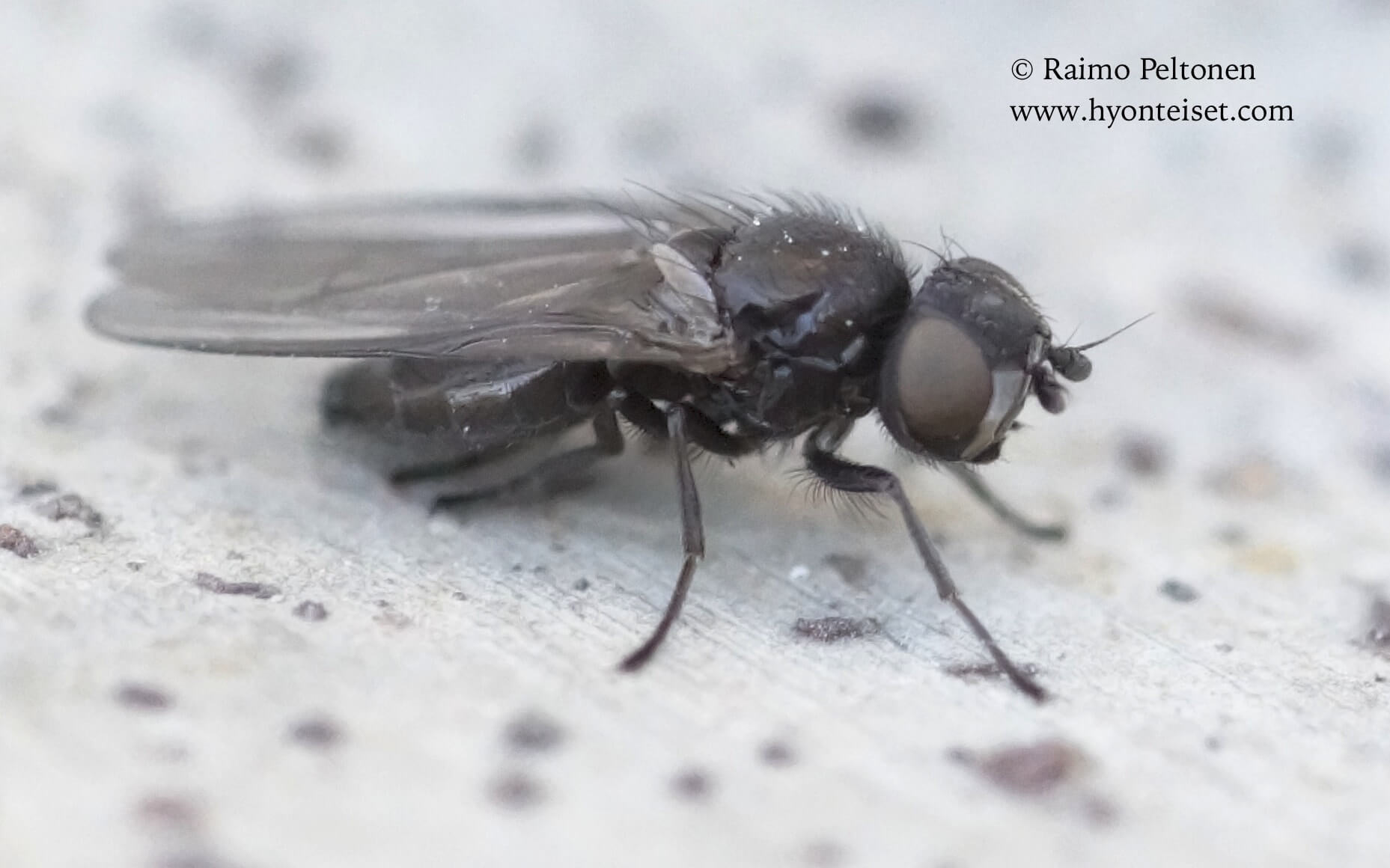 Earomyia lonchaeoides (det. Iain MacGowan), 16.5.2017 Jyväskylä