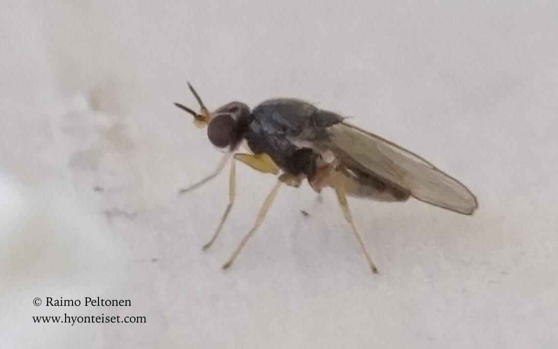 Elachiptera tuberculifera (conf. Antti Haarto), 7.5.2017 Jyväskylä