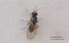 Elachiptera tuberculifera 1