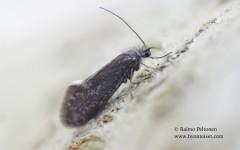 Eriocrania semipurpurella 2