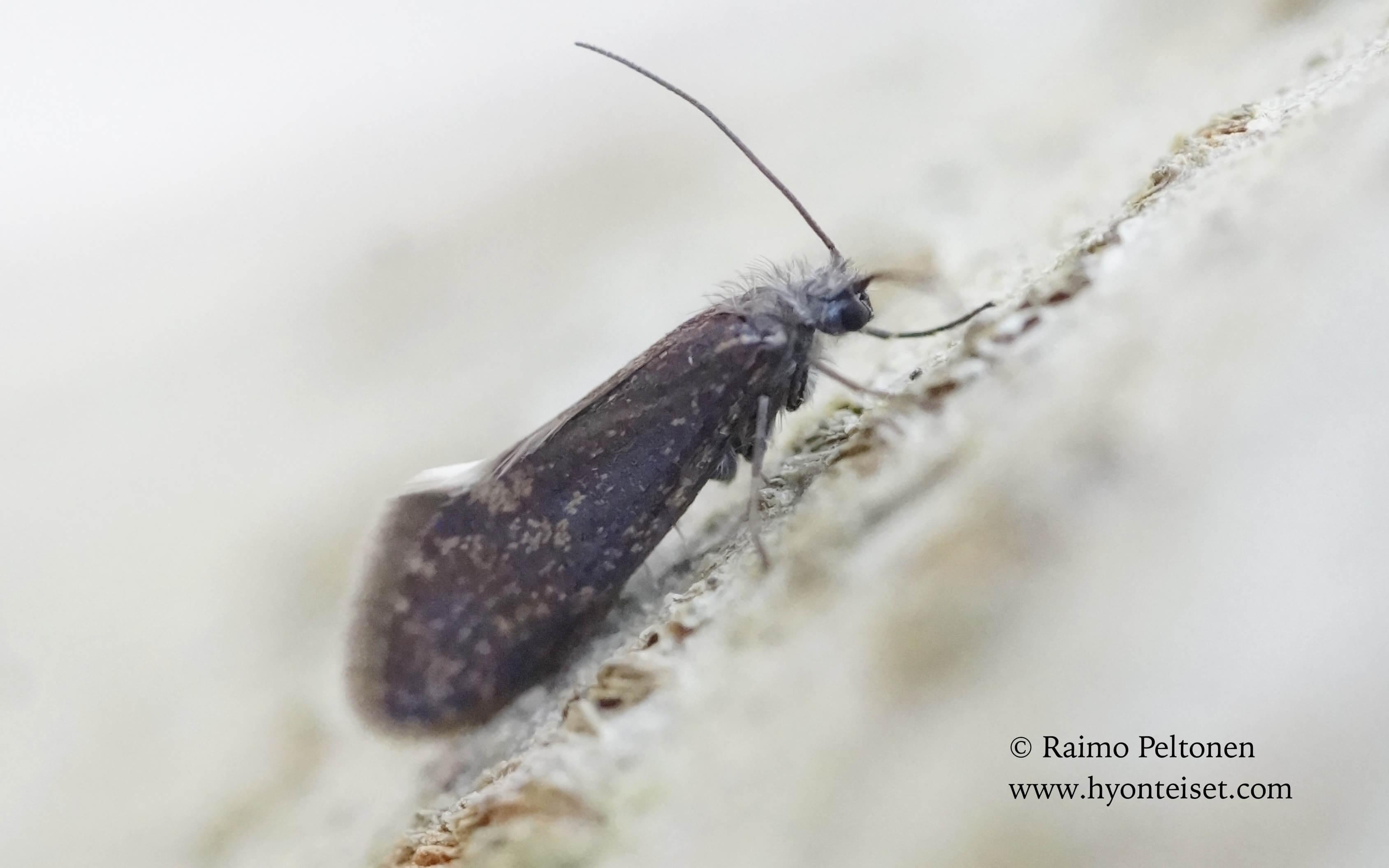 Eriocrania semipurpurella-isopäistärkoi (conf. Harri Jalava), 7.5.2017 Jyväskylä