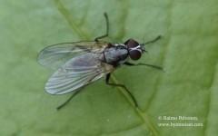 Eutrichota cf. schineri/socculata