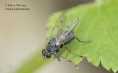 Lispocephala alma-group