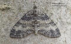 Lobophora halterata 1