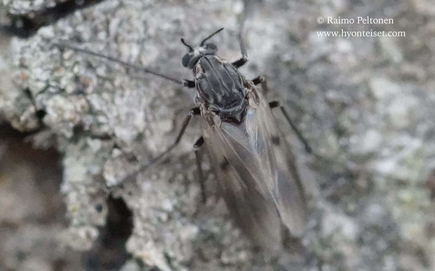 Procladius culiciformis (det. Lauri Paasivirta), 17.5.2017 Kyväskylä