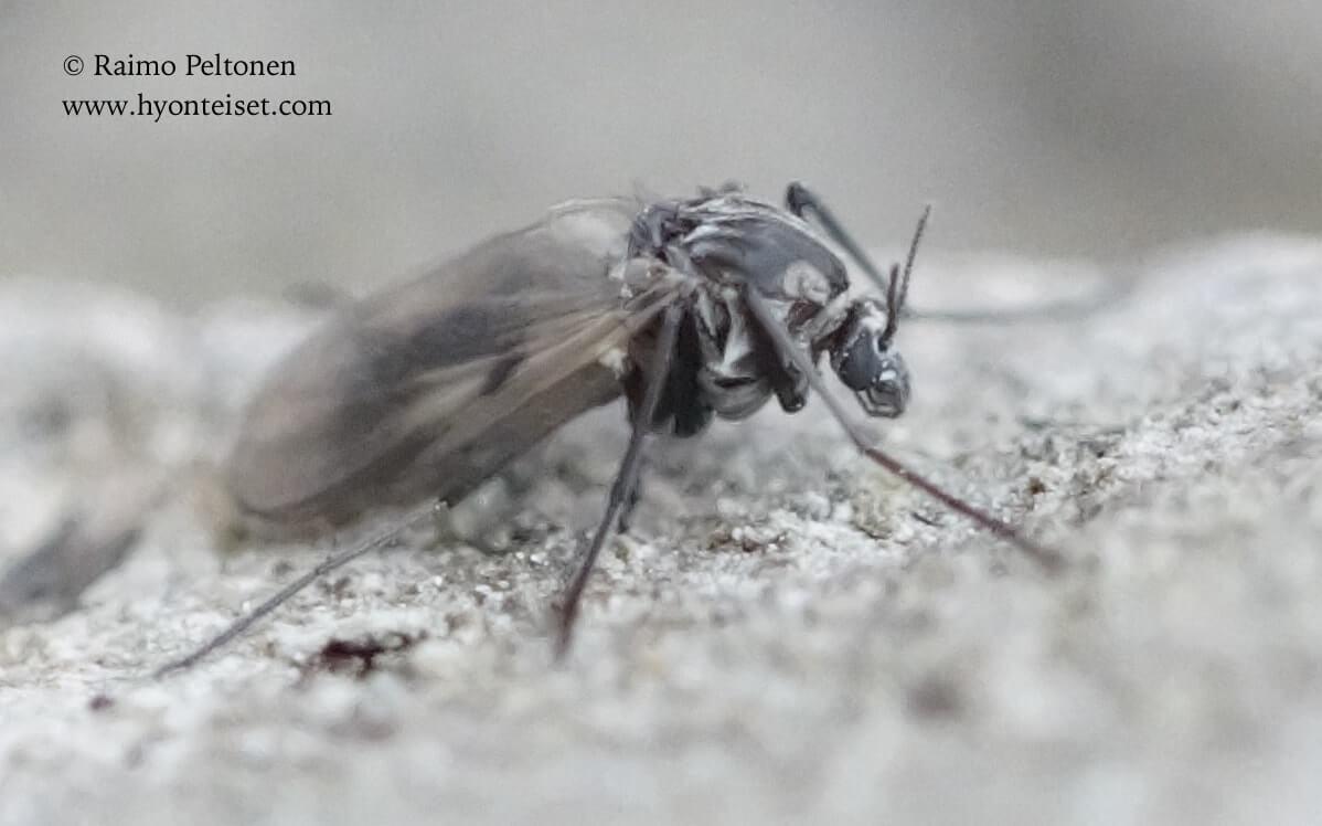 Procladius culiciformis (det. Lauri Paasivirta), 17.5.2017 Jyväskylä