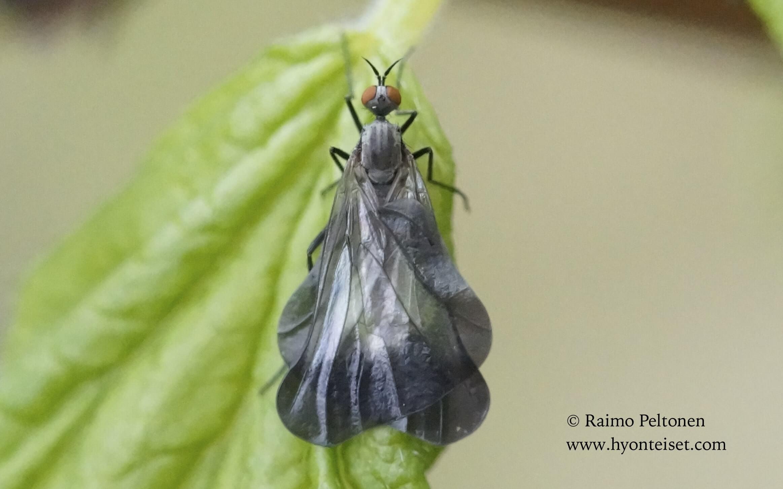 Rhamphomyia marginata, 26.5.2017 Jyväskylä