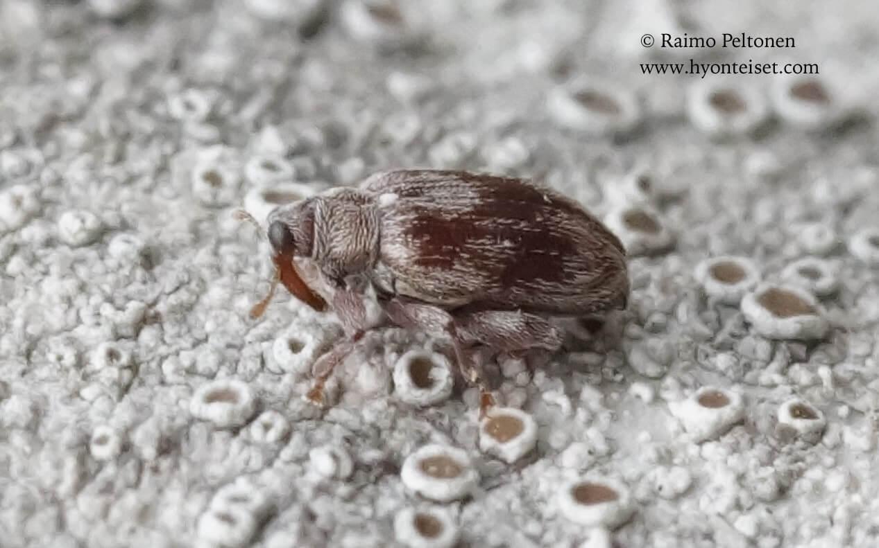 Rhynchaenus testaceus-lepänhyppykärsäkäs, 20.5.2017 Jyväskylä