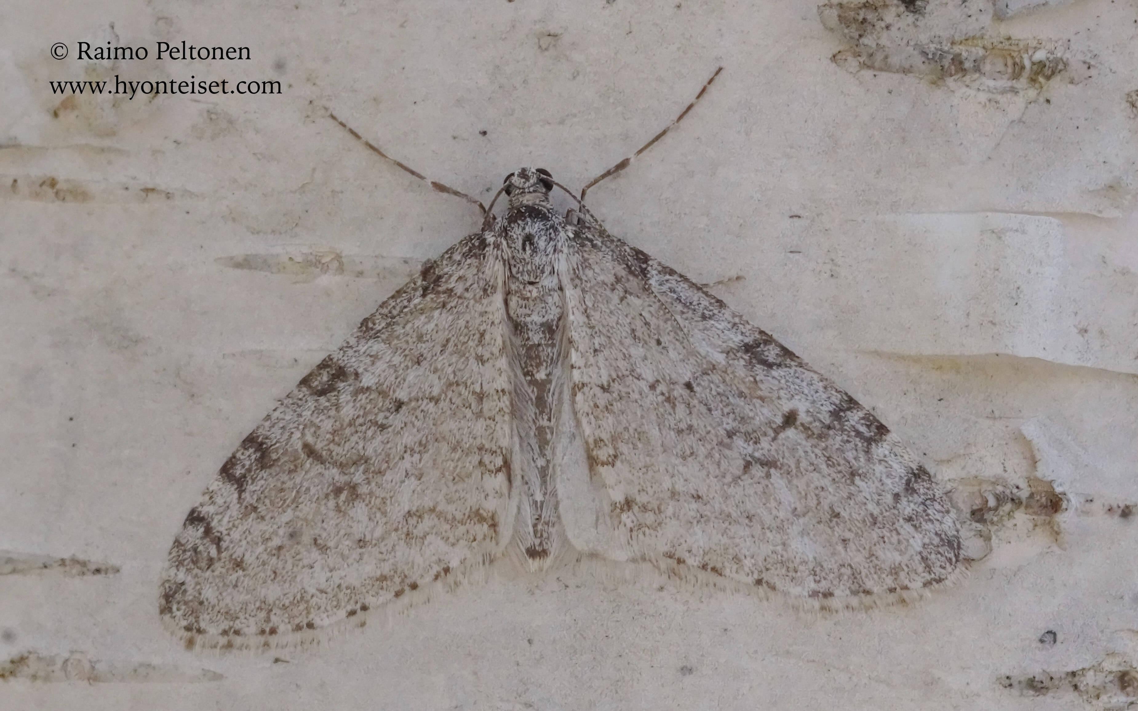 Trichopteryx carpinata-haapamittari (det. Harry Nyström), 24.5.2017 Jyväskylä