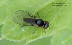 Agathomyia viduella 1