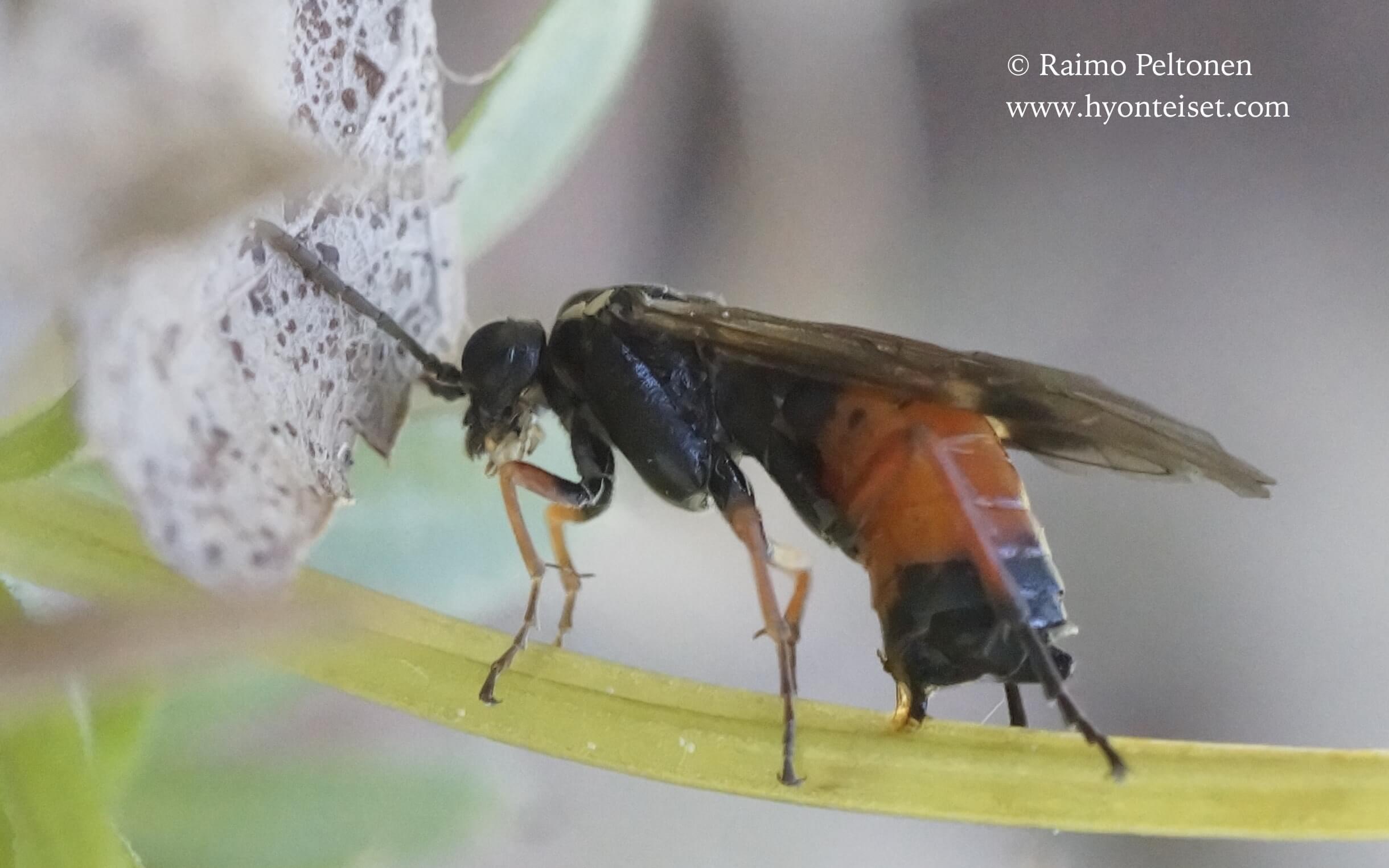 Aglaostigma aucupariae (det. Veli Vikberg), 4.6.2017 Jyväskylä