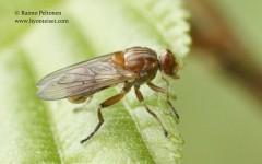 Brachyopa testacea 2