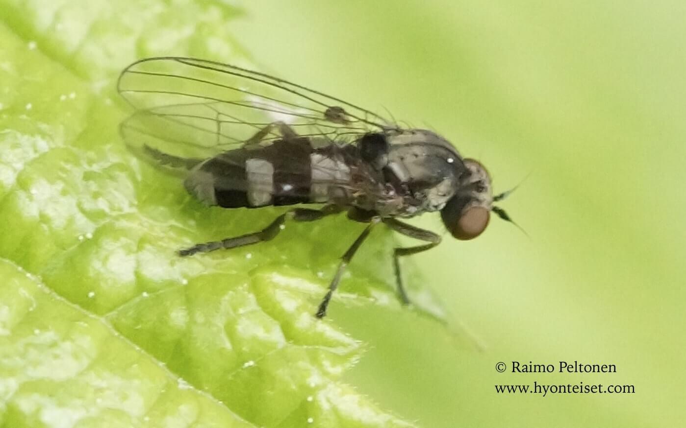 Callomyia dives, naaras (det. Menno Reemer), 22.6.2017 Jyväskylä