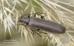 Calopus serraticornis 1
