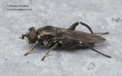 Chalcosyrphus nemorum 3