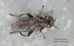 Chalcosyrphus nemorum 2