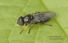 Cheilosia latifrons 1