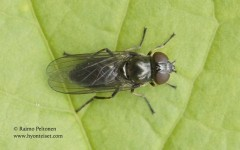 Cheilosia latifrons 2