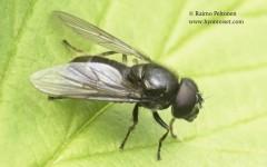 Cheilosia vernalis 2