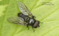 Cheilosia vernalis 1