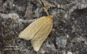 Clepsis senecionana