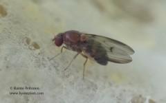 Leucophenga quinquemaculata 3
