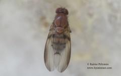 Leucophenga quinquemaculata 1