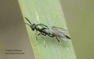 Eulophidae sp. 2