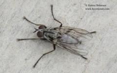Eustalomyia vittipes