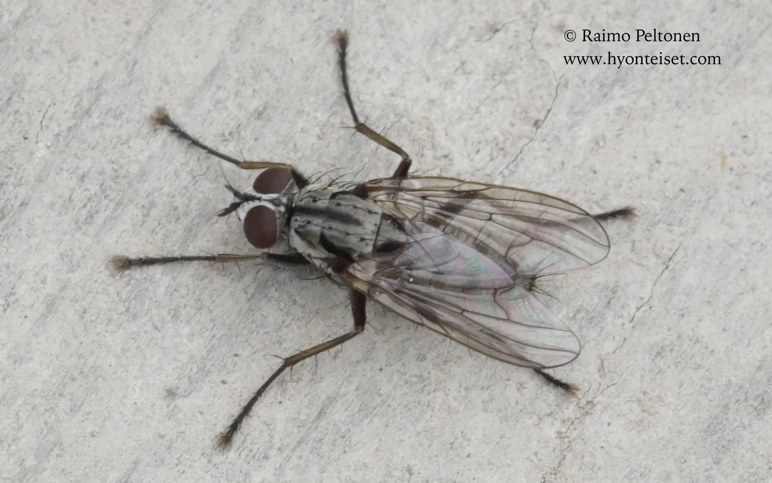 Eustalomyia vittipes (det. John Carr), 12.6.2017 Jyväskylä