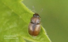Heterhelus scutellaris