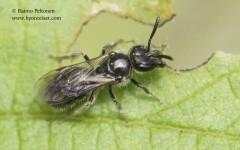 Lasioglossum lucidulum