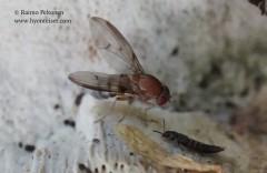 Leucophenga quinquemaculata 2