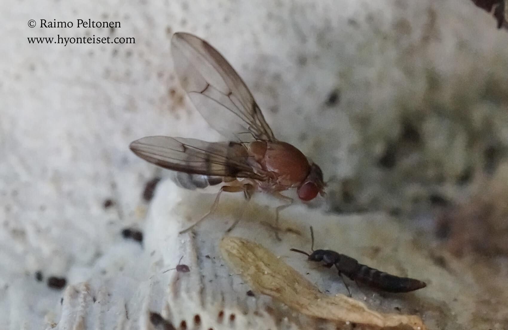 Leucophenga quinquemaculata (det. Jan Sevcik), 7.6.2017 Jyväskylä