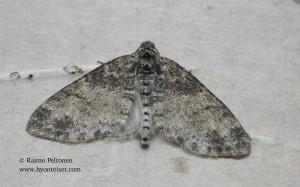 Lobophora halterata 2