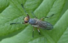 Pherbellia dubia 2