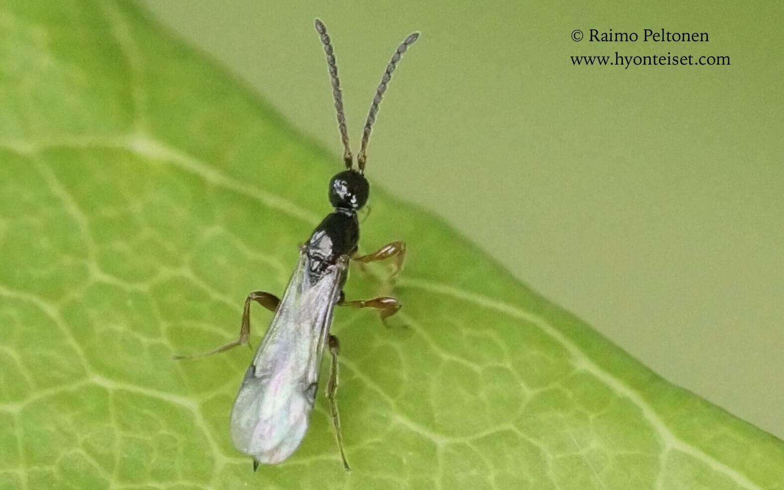 Proctotrupidae sp.-keripistiäinen (det. Juho Paukkunen), 27.6.2017 Jyväskylä